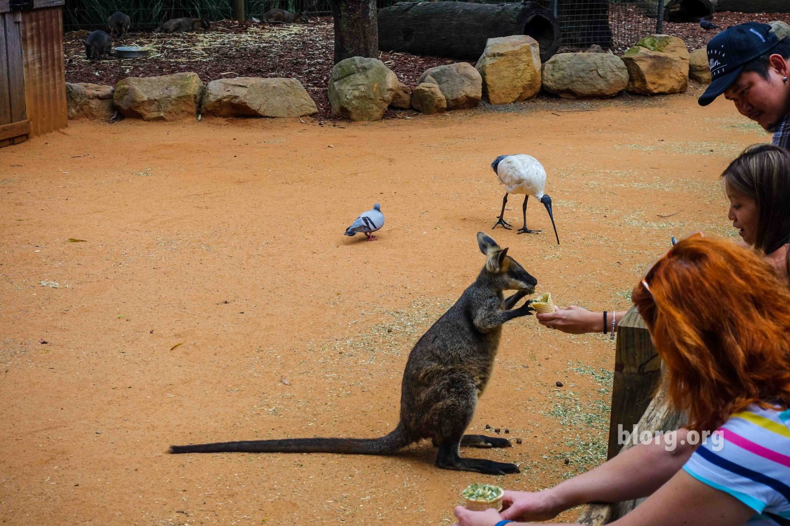 feeding baby kangaroo